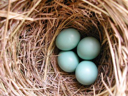 eastern-bluebird-eggs
